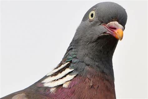 bird control pigeon deterrent blog pigeon patrol usa