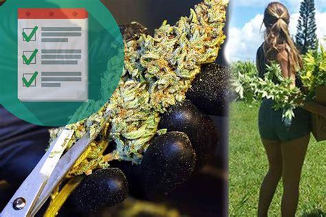 indoor outdoor marijuana strains seeds mold