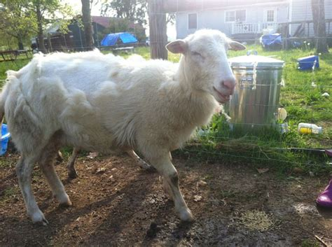 Shedding Sheep Breeds by 107 Best Images About Katahdin Sheep On