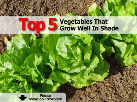 What Garden Vegetables Like Shade Top 5 Vegetables That Grow Well In Shade Gardening