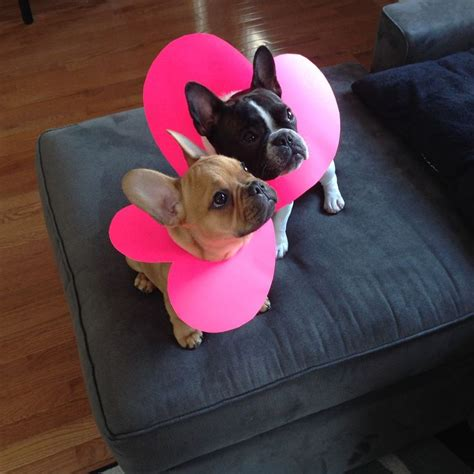 valentines day bulldog 12 best images about 2 dogs a chair on