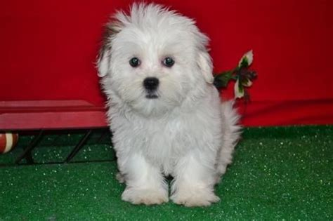 shih tzu for adoption ireland maltese shih tzu puppies for x for sale adoption from longford longford adpost