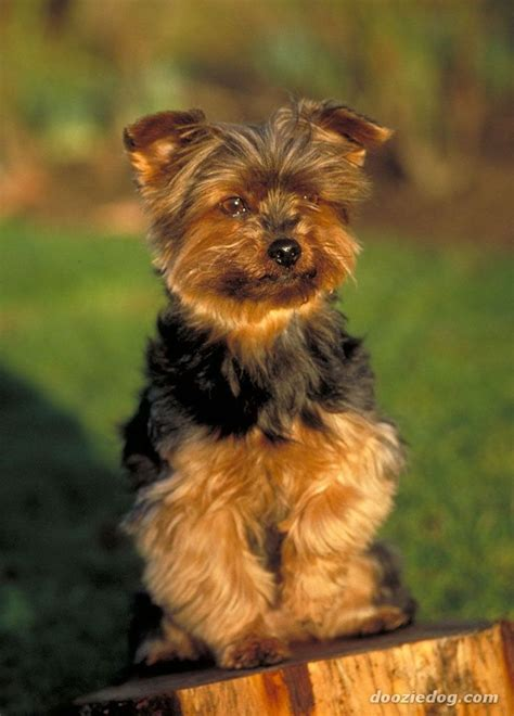 types of yorkie dogs best 25 terrier haircut ideas on yorkie haircuts yorkie and