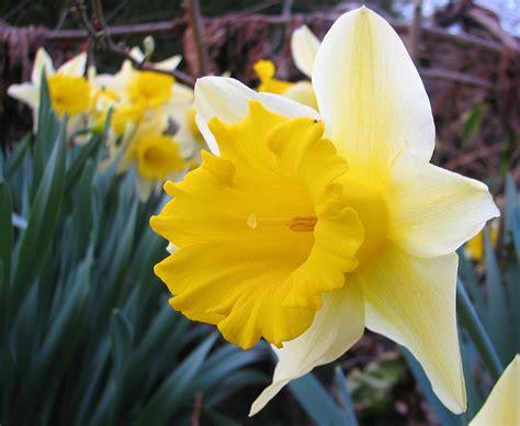 fiore narciso foto simbologia narciso