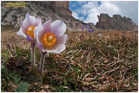 fiori di montagna nomi fiori di montagna fiori alpini val di fassa alpine