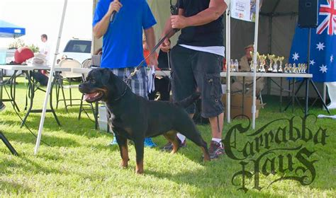german rottweiler puppies for sale in ny carrabba haus rottweilers german rottweiler puppies for sale rottweiler