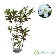 Adenium Bunga Merah Putih Single Tumbuh Dari Benih Bibit Murni 1 jual tanaman azalea bibitbunga