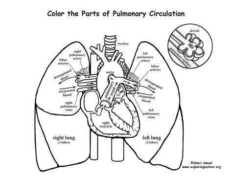 coloring pages of heart and lungs pulmonary circulation coloring page