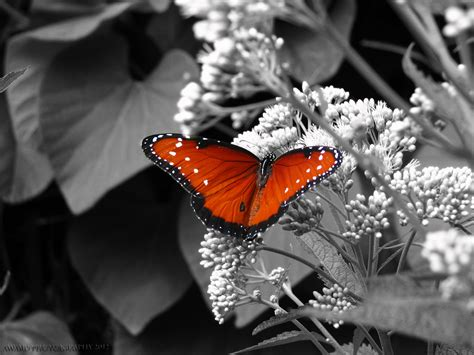 selective color selective color edit butterfly award photography flickr