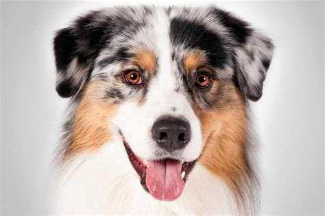 aussie breed australian shepherd breed information american kennel club