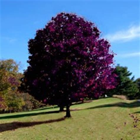 king house maple shade red crimson king maple tree seeds