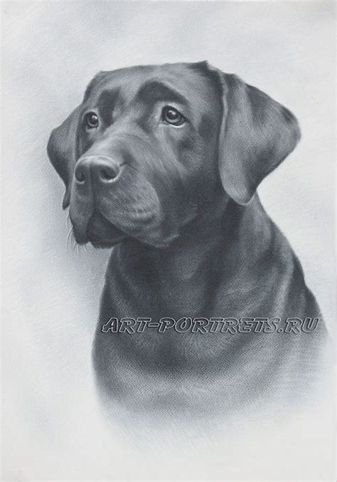 how to labrador in drawings of dogs labradors and realistic drawings on
