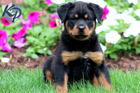 rottweiler puppies for sale pennsylvania the 25 best ideas about rottweiler puppies for sale on german rottweiler