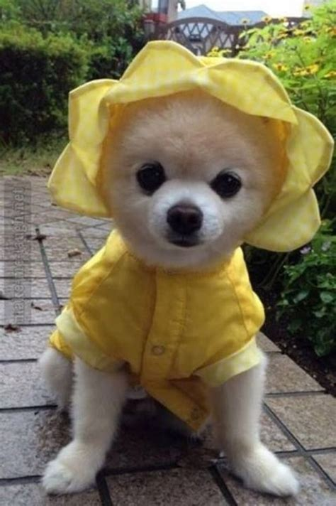 dogs wearing clothes 35 pictures of pets wearing clothes