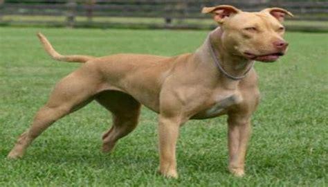 15 Tipos de Razas de Perro Pitbull, y sus Características ...