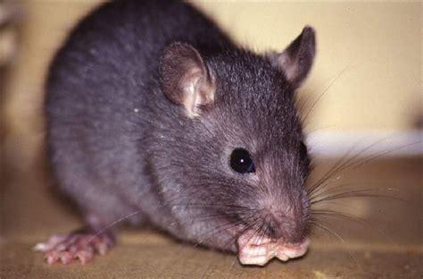 klasifikasi tikus dan jenis jenis serta gambarnya di berbagai dunia nama nama hewan