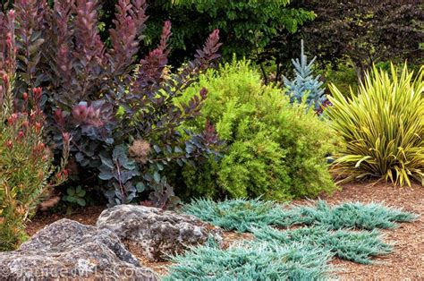 juniper landscaping 37 best images about juniperus on blue berry