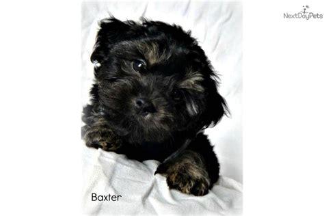 9 week yorkie meet baxter a yorkiepoo yorkie poo puppy for sale for 400 9 week yorkie poo