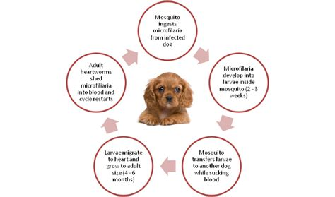 are heartworms in dogs contagious about heartworms in dogs