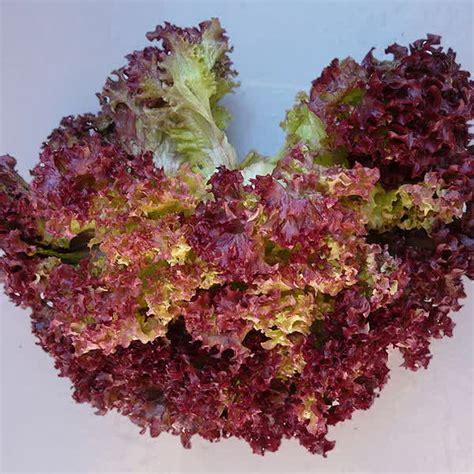 Benih Selada Keriting Merah Known You Seed 1 Pack Isi 10 Gram Jual Benih Biji Selada Merah Lettuce Rapid Murah