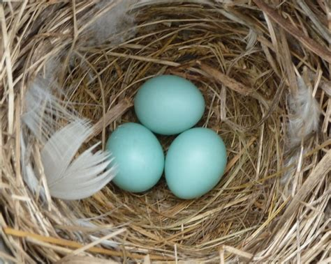 house sparrow eggs house sparrow eggs picture 1