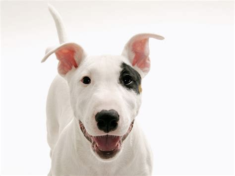 white puppy white hd wallpapers page 0 high resolution wallarthd