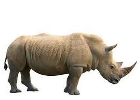 le rhinocros dor 2362790452 el drama del rinoceronte blanco apenas quedan 6 ejemplares en todo el mundo crep 250 sculo