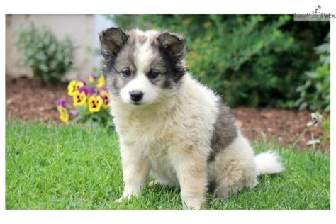 buy puppies near me samoyed puppies for sale near me myideasbedroom