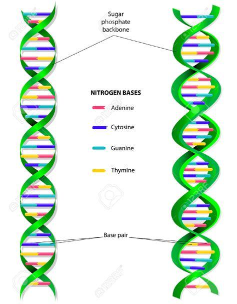 dna molecule diagram molecule clipart dna structure pencil and in color
