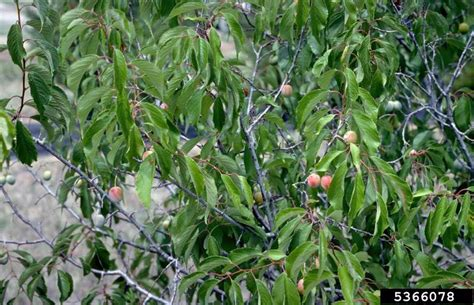 american plum prunus americana rosales rosaceae 5366078