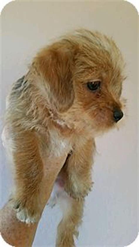 puppy frap shih tzu yorkie terrier mix puppy for adoption in chandler arizona