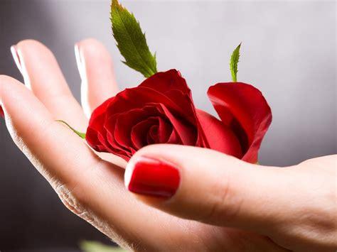 red rose  hand flowers  wallpaperscom