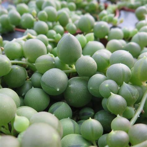 bead plant senecio rowleyanus string  pearls  pot
