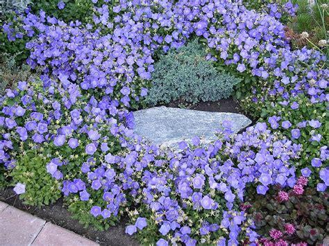 Plants & Flowers » Campanula isophylla