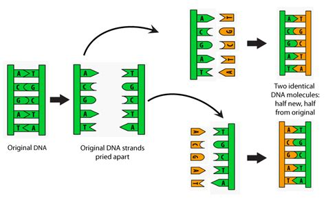 Dna Replica Dna Iii Biology Visionlearning