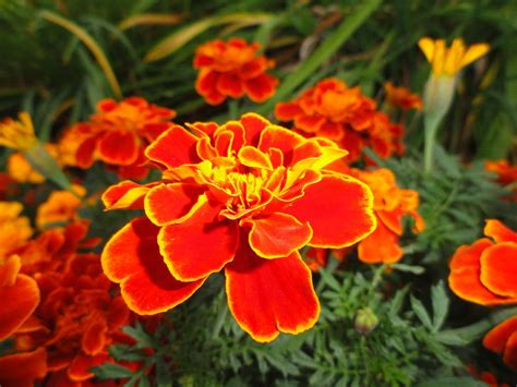 marigold color marigold color of photograph by chandrakanth lakkakula