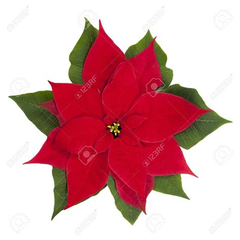 clear poinsetta holiday flower xmas lights flowers poinsettias happy holidays
