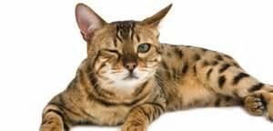 douleur chez le chat 23 signes 224 ne pas n 233 gliger