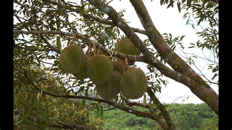 origin  durian durio zibethinus   king