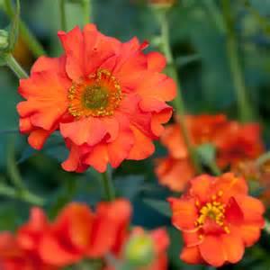 Flowers For Cottage Garden - geum mrs j bradshaw avens dobbies garden centres