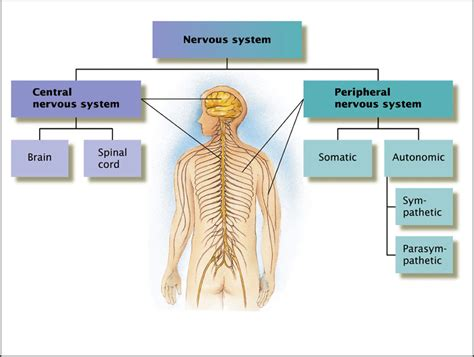 diagram of central and peripheral nervous system psychlopedia spinal cord