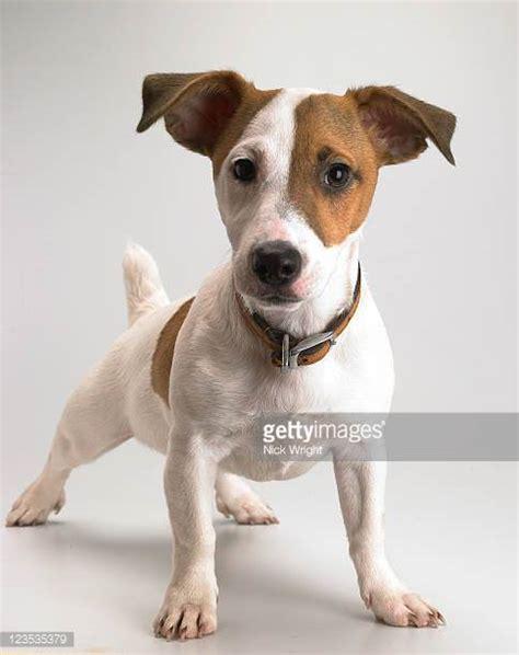 imagenes of jack russell terrier jack russell fotograf 237 as e im 225 genes de stock