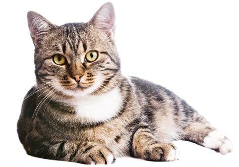 cibo per gatti fatto in casa ricetta biscotti fai da te per gatti non sprecare