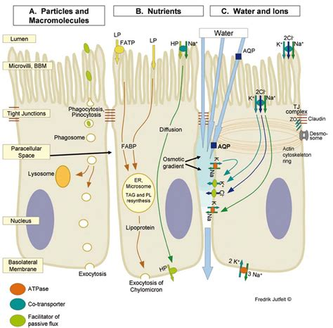 schematic view  intestinal transepithelial transport