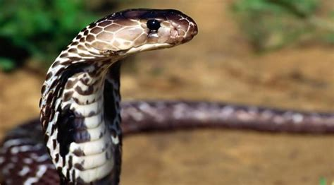 film ular cobra india pria india bunuh ular king cobra dengan tangan kosong