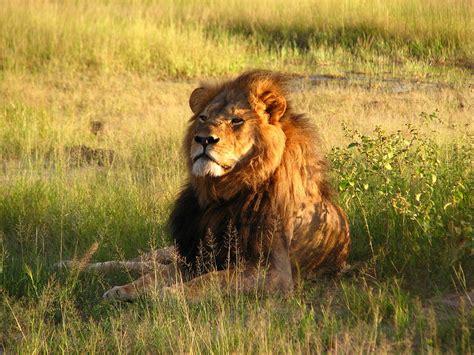 lions home קובץ cecil the jpg ויקיפדיה