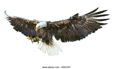 american bald eagle cut out stock images pictures alamy