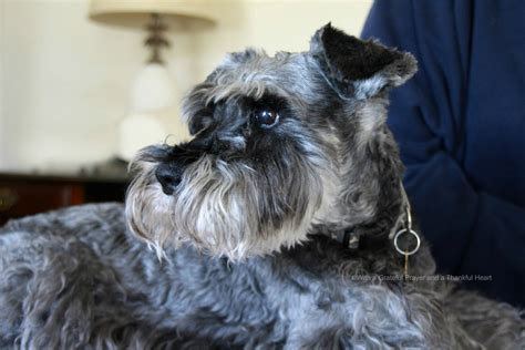 yorkie teeth cleaning cost dogs brushing teeth breeds picture