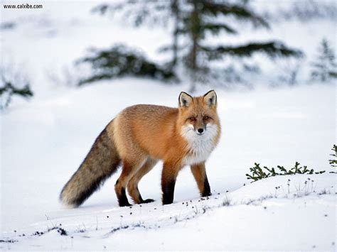 animals in the winter animals red fox in winter picture nr 13590