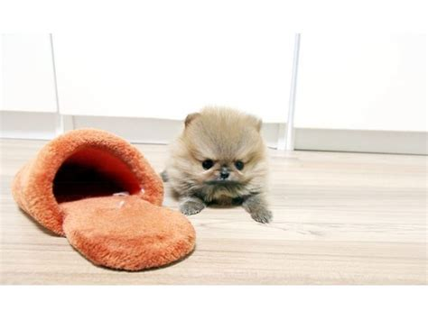 teacup pomeranian puppies for sale in indiana amazing micro tiny teacup pomeranian puppies for sale animals indianapolis